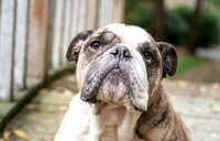Murphy - PNW Bulldog Rescue | Spitting Image Photos 503.602.7443